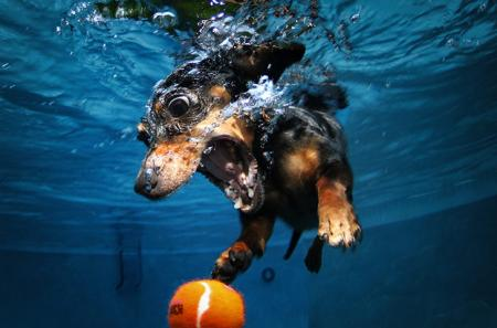 A-diving-dachshund-pursue-018