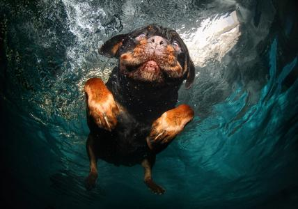 A-rottweiler-swims-around-026
