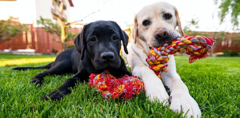 honden verliefd