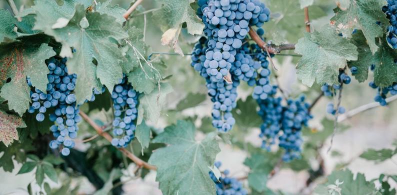 nachtvorst druivenoogst