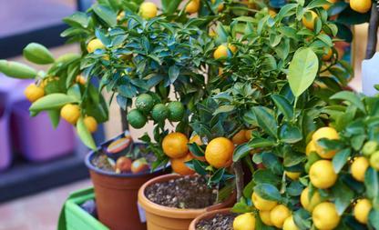 Fruitboompjes binnen