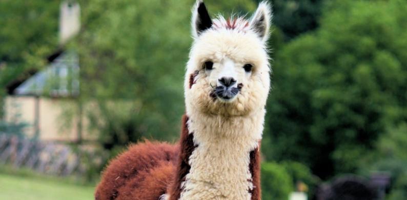vakantiehuisje alpaca's